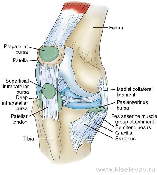 такие строение колена человека фото невероятные красоте
